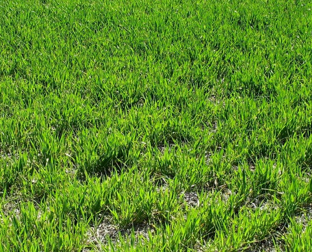 Jak usuwać chwasty wrażliwe w pszenicy
