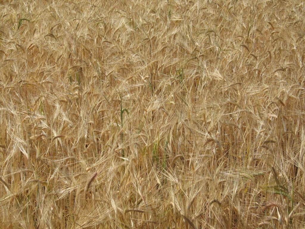 Szczawik żółty a wiechlina roczna w pszenicy