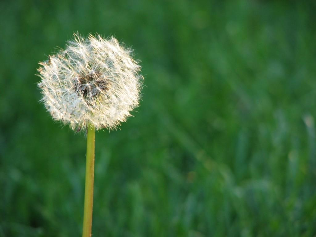 Wpływ chwastów na rośliny